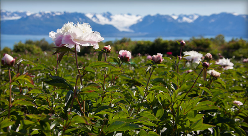 Chillyroot Peony Farm